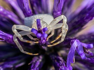 Pink Crab Spider