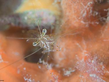 Rock-pool Shrimp
