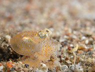 white-spotted octopus - Juvenile