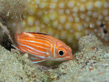 Crown Squirrelfish - Juvenile