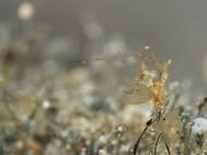 Coeloplana lineolata