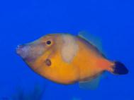 Whitespotted Filefish (Orange Variation)