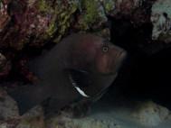 Redmouth Grouper (B)
