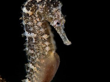 White's Seahorse