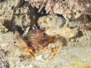 Two-claw Shrimp (B)