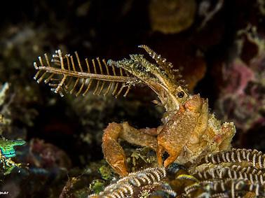 Bull Hidroid Crab
