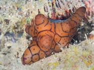 Velutinidae