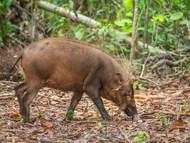 Western Bearded Pig