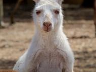White Western Grey Kangaroo