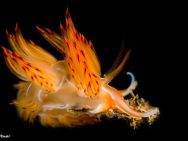 Other Glaucidae