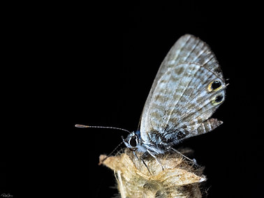 Lang's Short-tailed Blue