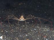 Banded Arrow Crab