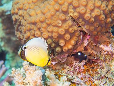 Exquisite Butterflyfish - Juvenile