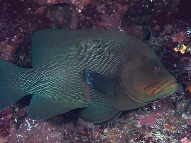 Redmouth Grouper (A)