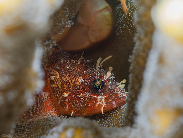 Guam Scorpionfish