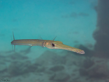 Bluespotted Cornetfish