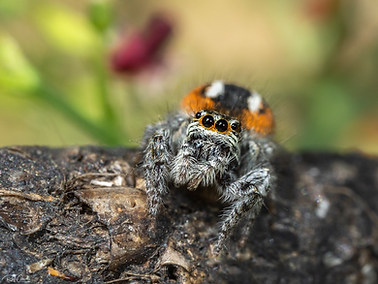 Red-bellied Jumping Spider