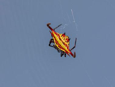 Spiny Back Orb Weaver Spider