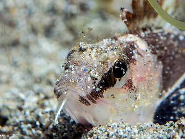 Ocellated Waspfish - Juvenile