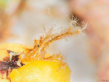 White-V Hydroid Crab