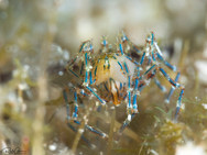 Coral Sea Spider with Egg's (C)