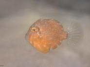 Filefishes