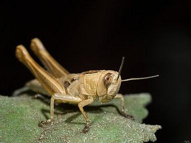 Lamenting Grasshopper (B)