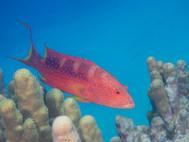 Red-sea Coral Grouper