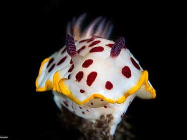 Goniobranchus