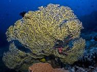 Yellow Fan Coral