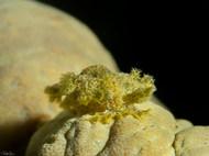 Marionia viridescens