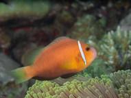 Maldives Blackfin Anemonefish