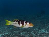Blacksaddle Coral Grouper