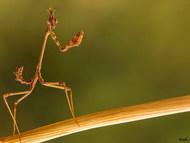 Stick-mimic Mantis
