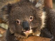 Koala - Baby