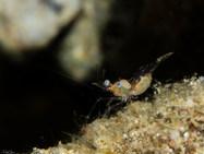Greenish Coral shrimp