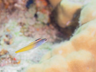 Townsend's Fangblenny