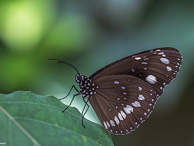 Common Crow Butterfly