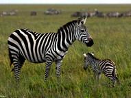 Plains Zebra & Baby