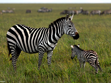 Plains Zebra & Baby