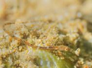 Thorntail Pipefish