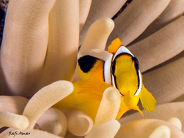 Two-banded Anemonefish - Juvenile
