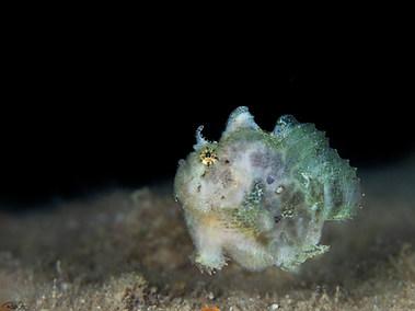 Freckled Frogfish - Juvenile