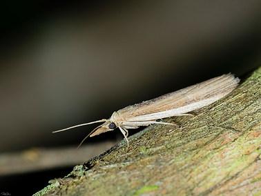 Moth-long nosed