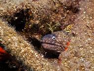 Mediterranean Moray - Juvenile