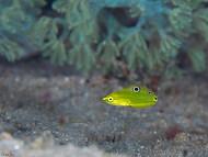 Canary Wrasse - Juvenile