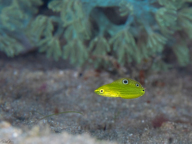 Canary Wrasse - Juvenile
