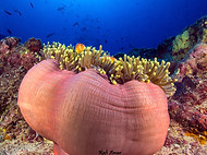 Magnificent Sea Anemone - Heteractis mag