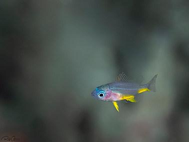 Orbicular Damselfish