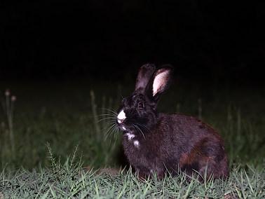 European Rabbit
